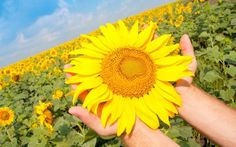 Sunflowers offer incredible health benefits, and you can eat many parts of the plant. Here are 11 reasons to consider growing your own organic sunflowers.