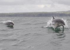 Dolphin watching on The Shannon Estuary with Shannon Ferries