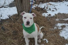 SAFE --- URGENT - Staten Island Center    SUGAR - A0990637 FEMALE, WHITE / BROWN, AMERICAN STAFF MIX, 7 mos  STRAY - EVALUATE, NO HOLD  Reason STRAY   Intake condition NONE Intake Date 01/29/2014, From NY 10302, DueOut Date 02/01/2014  MAIN THREAD: https://www.facebook.com/photo.php?fbid=750456981633850&set=a.617941078218775.1073741869.152876678058553&type=3&theater