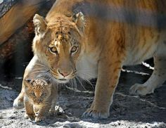 Adorable Liger Cubs Make Their Debut via ABCNews - Zita, a liger, which is half-lion and half-tiger, with her 1-month-old liliger cub in the Russian East Siberian city of Novosibirsk Zoo, June 19, 2013.