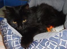 I WAS ADOPTED!♥♡♥♡♥♡♥12/2015♥♡♥♡Olivia *  Olivia *   Cat • Domestic Long Hair-black Mix • Adult • Female • Small  Emporia Kansas Animal Shelter Emporia, KS