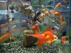 Qué es La Acuariofilia http://www.mascotadomestica.com/articulos-de-peces/que-es-la-acuariofilia.html
