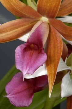 An Orchid, Probably A Cattleya Hybrid