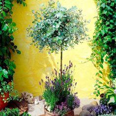 Anti-mosquito Eucalyptus Gum Tree - Shrubs - E - Shrubs & Trees - Garden Plants Eucalyptus Plante, Eucalyptus Tree, Container Plants, Container Gardening, Pot Jardin, Patio Planters, Garden Pests, Garden Trees, Plantation