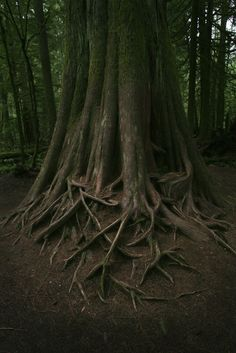 Roots / Vancouver Island, Canada.