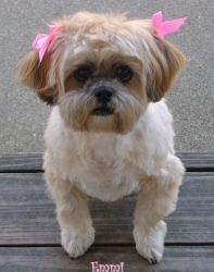 Emmi is an adoptable Shih Tzu Dog in Milwaukee, WI. Emmi is a 13 year old Shih-Tzu that was turned in by her owners after they couldn't care for her during her older years. She is great with other dog...