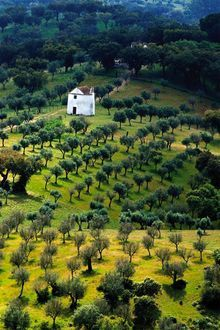 Olive fields , Alentejo  - Portugal. Let us stay in this house & eat crusty peasant bread  soaked  with olive oil !
