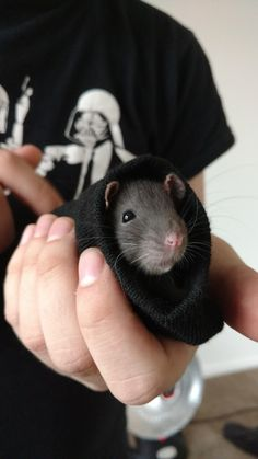 After a while of having no rats, this is Makara X-Post r/RATS Hamsters, Rodents, Funny Rats, Cute Rats, Animals And Pets, Baby Animals, Cute Animals, Strange Animals, Fluffy Animals