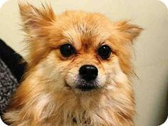 Brooklyn, NY - Pomeranian Mix. Meet LONDON, a dog for adoption. http://www.adoptapet.com/pet/12469122-brooklyn-new-york-pomeranian-mix