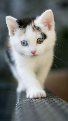 Le chat il est trop beau,il a deux yeux de couleur différentes,sublimement beau ! *_* ♥