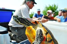 While a wildlife biologist, in the background, talks about a red bellied cooter …an eager one attempts an escape from the plastic bin.