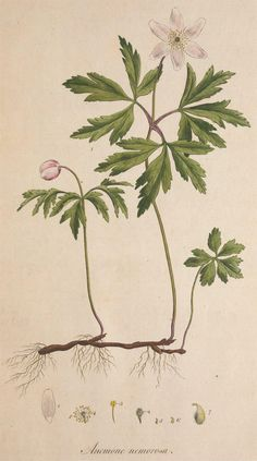"""Elizabeth's gaze """"went to a bowl of wood anemones and hart's tongue ferns on the window seat"""" (Ross Poldark, 2, viii). Wood anemone - early spring flowering plant abundant in Cornwall. Pictured: Anemone nemorosa plate from Flora Londinensis by Curtis Williams, 1777 [image: http://wilde-planten.nl/bosanemoon.htm]"""