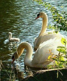 Swan Family!