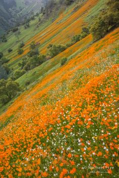 Poppies and popcorn flowers in the Merced River Canyon, Stanislaus NF, Mariposa County, CA, USA