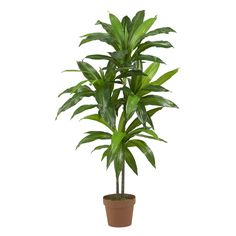 48in Dracaena Silk Plant (Real Touch)  - Towering in at 43 inches high, this lovely Dracaena silk plant is a treasure to behold. Slender fresh green leaves bow forward in every direction. Authentic style stems covered with rich foliage create a look that can't be imitated. This plant not only looks natural but feels real to the touch too. Perfect for home or office this plant is so natural will have you reaching for the watering can. Number of Trunks: NA Number of Flowers: NA Number of…