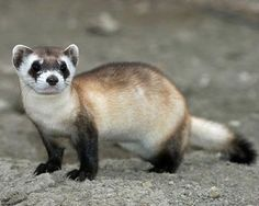 Black-Footed Ferrets | Community Post: 10 Of The Cutest Endangered Species. numbers in the wild, approximately 1,000.