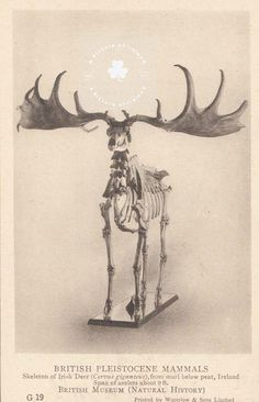Irish Deer Skeleton from the British Museum Antique Image Deer Skeleton, Ireland Pictures, Us Images, British Museum, Irish, Moose Art, Card Making, Arts And Crafts, Ireland