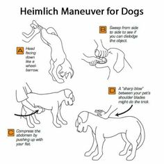 Training your dog is about building your relationship with your pet dog as well as setting up boundaries. Be firm yet consistent and you will see impressive results when it comes to your dog training efforts. Dog Care Tips, Pet Care, Puppy Care, Pet Tips, Heimlich Maneuver For Dogs, Dog Heimlich, Animals And Pets, Cute Animals, Wild Animals