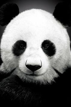 Panda Bear #iPhone #4s #Wallpaper