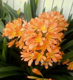 Growing feeding, Plant Care of Clivias - Daylilies in Australia Tropical Landscaping, Landscaping Plants, Tropical Plants, Garden Plants, Tropical Flowers, Summer Flowers, Outdoor Plants, Outdoor Gardens, Small Flower Gardens