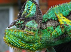 chameleon | Chameleons are some of the most colorful creatures on the planet so ...