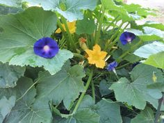 Very pretty to grow morning glory next to squash and they coexist very well :)
