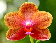 Phalaenopsis (Brother Coral x Ever-spring Pearl)