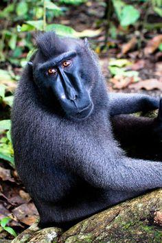 El macaco negro crestado (Macaca nigra) Con la excepción de un poco de pelo blanco en el hombro, esta especie de macaco es de color totalmente negro azabache. Inusualmente para un primate, tiene unos llamativos ojos de color marrón rojizo. Son notables el largo hocico con altas mejillas y el mechón de pelo largo, o cresta, en la parte superior de la cabeza. La cola es de sólo aproximadamente 2 cm.
