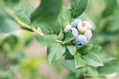 Blueberries by Cheryl McCain Photography