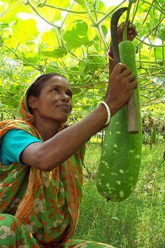 Woman farmer harvesting vegetables, Bangladesh (2004). Photo:  WorldFish via Flickr.