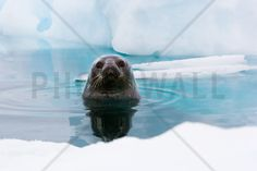 Curious Seal - Fototapeter