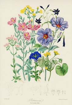 Antique Botanical Lithograph Prints by Twining