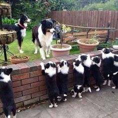 """Can everyone say """"Awwwwww! I see a Whole Lot of Border Collie Puppies! Perros Border Collie, Border Collie Puppies, Collie Dog, Border Collies, Mini Collie, Cute Puppies, Cute Dogs, Dogs And Puppies, Doggies"""
