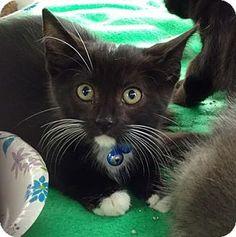 Bensalem, PA - Domestic Shorthair. Meet Hamilton, a kitten for adoption. http://www.adoptapet.com/pet/16792862-bensalem-pennsylvania-kitten