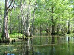 Honey Island Swamp Tour - Slidell, LA.  This isn't my swamp, but I think I see some cypress knees coming up out of the water.  Can you see the cone-shaped little guys?