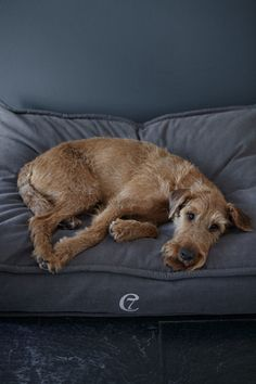 Irish Terrier lounging on his dog bed Dog Pictures, Animal Pictures, I Love Dogs, Cute Dogs, Animals And Pets, Cute Animals, Irish Terrier, Animals Beautiful, Dogs And Puppies