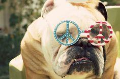 Baggy Bulldogs  #english_bulldogs