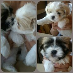 My adorable Lhasa Apso puppieesss!! ♥