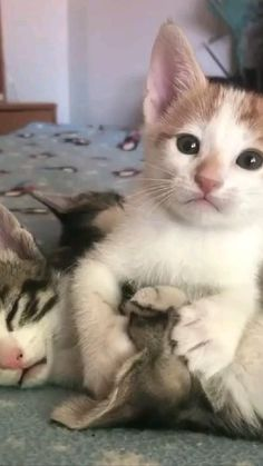 Cute Baby Cats, Cute Cats And Kittens, Cute Little Animals, Cute Funny Animals, Kittens Cutest, Cats Humor, Funny Kitties, Cute Animal Videos, Funny Animal Pictures