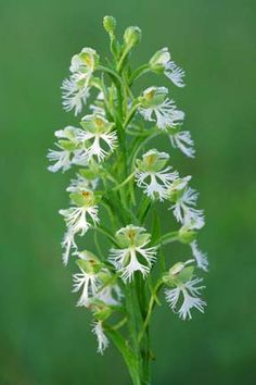 The Eastern Prairie Fringed Orchid is an endangered species.  Learn about threatened plants in the upper Midwest at http://www.fws.gov/midwest/endangered/plants/index.html#epfo