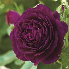 Rose 'Twilight Zone' — Green Acres Nursery & Supply Beautiful Roses, Colorful Flowers, Beautiful Flowers, Flower Colors, Black Baccara, Rose Foto, Rare Roses, Rosa Rose, Rose Trees