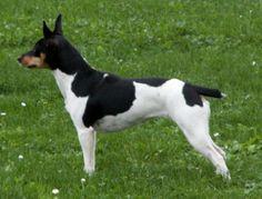Picture perfect profile of a Rat Terrier, Ti a female #Tri-color #Rat #Terrier