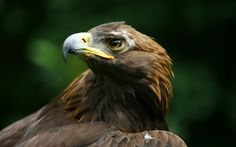 The golden eagle (Aquila chrysaetos) is one of the best-known birds of prey in the Northern Hemisphere. Description from pixgood.com. I searched for this on bing.com/images