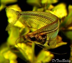 ghost catfish- I've had these before and they can be sensitive, but I'm gunna work up the courage to own them again soon Tropical Freshwater Fish, Freshwater Aquarium Fish, Tropical Fish, Colorful Fish, Aquarium Fish For Sale, Aquarium Catfish, Underwater Creatures, Underwater Life, Animals