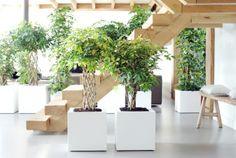 Trotz des fehlenden Gartens kann man auf diese Weise auch seinen eigenen Baum pflanzen #baum #pflanzenfreude #tree #indoor