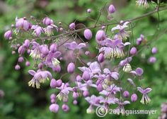 Thalictrum delavayi.  violettrosa VII-VIII 120-180 cm