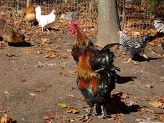 Keeping Roosters Together -- Community Chickens