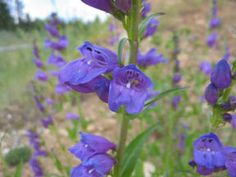 Native Colorado Wildflowers - Colorado State Extension - includes notes on what flowers attract hummingbirds