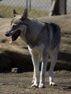 Tamaskan    Best Seven Dogs That Look Like Wolves