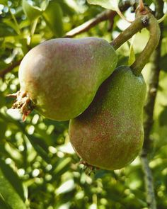 """via @hemlycider: Pears are starting to """"drop""""! After bloom the new Pears grow upright on their branches.  As they grow in size and weight they slowly """"drop"""". #pearorchard #pearcider #pearswitheverything #hemly #hemlycider #6generations #sacfarm2fork"""